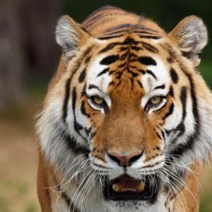 tiger backround-yiVX-1024x640